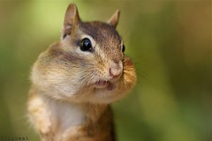 Close Enough To Perfect (flipkeat) Tags: wild portrait cute nature face animals closeup mammal rodent wildlife sony adorable chipmunk mississauga eastern alvin chippy chipmunks tamias a500 hackee