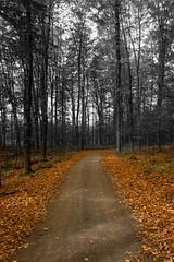 Balade d'automne (pylacroix) Tags: trees orange white black fall automne noir quebec arbres leafs blanc feuilles 2014 mirabel boisdebellerivire