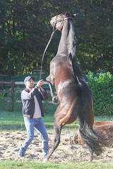 sans titre-3959 (Jean-Phi Deb) Tags: horses races stable chantilly courses chevaux criquet treves écurie jarnet christianehead qatarprixdelelarcdetriomphe