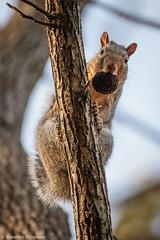 Bombs Away (Shannon Tompkins) Tags: park autumn fall canon october squirrel kentucky ky louisville cherokee 6d