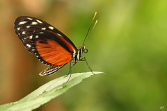Heliconius hecale (JPF Photos) Tags: macro closeup canon butterfly insect close 100mm papillon insecte insectes heliconiushecale macrophotography macrophotographie