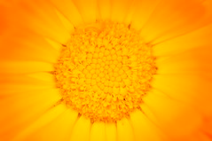 The Center of Pot Marigold / Die Mitte der Ringelblume (Calendula) (bernhard.friess) Tags: original light summer bw oktober art nature canon vintage germany lens deutschland prime licht in