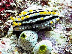Maldives 2014 (bowsawblogger) Tags: fish animals coral canon sand honeymoon indianocean scuba fantasia snorkelling bsac scubadiving padi reef maldives 2014 g16 shorediving scubatravel livaboard scubascuba canong16