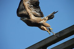 Courzieu Wildlife Park (www.JnyAroundTheWorld.com - Pictures & Travels) Tags: france lyon courzieu wolf wolves birdofprey eagle vulture falcon jny bird oiseaux birdlife canon jnyaroundtheworld jenniferlavoura