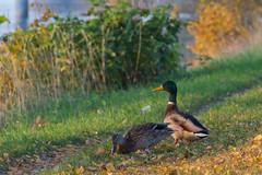 Mr & Mrs Mallard (Ryuu Tora) Tags: autumn canon sweden karlstad klarälven mallard sverige höst mallards värmland gräsand 60d gräsänder efs18135mmis ryuutora