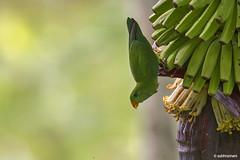 Vernal Hanging Parrot (subhramani) Tags: bird canon wildlife kerala wayanad kalpetta 60d subhramani vernalhangingparrot
