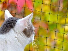 Nelli  autumn II (frankbehrens) Tags: cats cat chats chat gatos gato katze katzen