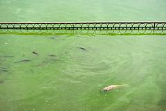 Dead (Shubh M Singh) Tags: life india lake fish green water dead death feeding buddhist over spot holy feed sikh punjab hindu himachalpradesh rewalsar