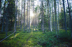 (thisisforlovers) Tags: trees light sunset wild naturaleza tree verde green luz nature forest finland atardecer woods rboles bosque lapland rbol puestadesol midnightsun finlandia laponia salvaje finnishlapland naturalezasalvaje laponiafinlandesa