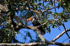 60069869 (wolfgangkaehler) Tags: brazil tree bird southamerica toucan wildlife brazilian northern matogrosso pantanal toucans 2014 southamerican tocotoucan feedingbird portojofre tocotoucanramphastostoco cuiabariver northernpantanal