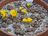DSCF0402 (BobTravels) Tags: plant stone bob lithops lithop messem bobwitney