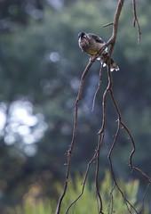 Wattlebird Perching (oz_lightning) Tags: birds garden australia canberra aus wattlebird act australiancapitalterritory anbg canonef70200mmf4lisusm canonef14xiiextender canon6d