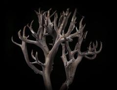 This is not a tree (really !) - Ceci n'est pas un arbre (vraiment !) (Vincent L) Tags: france macro photographie fungi t vienne champignon saison basidiomycete poitoucharentes mycota myctes svresanxaumont rgnedesmycotaetdesfungi