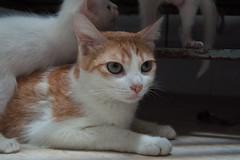 """what have I done?"" (adricsa) Tags: family orange baby cat mom kitten tabby mommy gatos famlia thinking me resgatinhos"