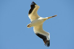 2014 American White Pelican In Flight 21 (DrLensCap) Tags: road white bird wisconsin wildlife flight pelican national american marsh wi kramer dike refuge horicon in robt mayville