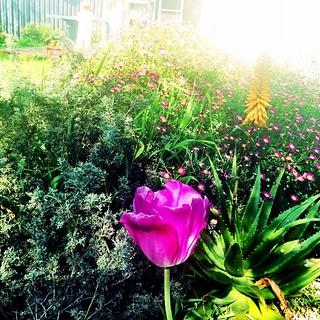 365/276 • good morning • #2014_ig_276 #latergram #mumsgarden #flowerpower