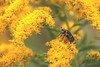 flower chafer (zbackkcabz) Tags: flower cute nature beautiful bug cool country scene flowerchafer
