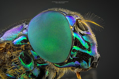 Mosca-varejeira (Jefferson Allan - Photographer) Tags: macro canon focus mark iii 100mm 5d 28 stacking lente focusstacking fotografocampinas empilhamentodefoco jeffersonallan macrojeffersonallan