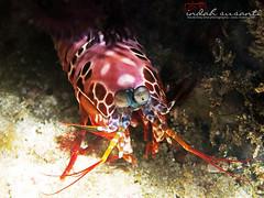 Peacock Mantis Shrimp (Indah Susanti - Underwater Photos) Tags: mantis photography marine underwater shrimp peacock diving scubadiving crustacean duik duiken peacockmantisshrimp bangkaisland indahsphotography penyelamindonesia