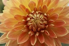 Orange of Autumn (Read2me) Tags: flower dahlia orange macro petals cye thechallengefactory gamewinner challengeclubwinner herowinner superherochallengewinner pregamewinner friendlychallenges storybookotr x2 achallengeforyou x3 perpetualchallenge challengeyouwinner cyunanimous ultimategrindwinner