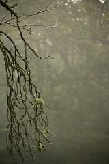 Eerie Tree (gary_whenman) Tags: wood mist tree dead foggy eerie rotten cobwebs