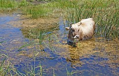 Greece, Macedonia, small Prespa lake, cow grazing in the wetland (Macedonia Travel & News) Tags: macedonia ancient culture sun orthodox republic nato eu fifa uefa un fiba greecemacedonia macedonianstar verginasun aegeansea florina sitaria prespa lake mavrovo macedoniablog 47898230 macedoniagreece makedonia timeless macedonian macédoine mazedonien μακεδονια македонија travel prilep tetovo bitola kumanovo veles gostivar strumica stip struga negotino kavadarsi gevgelija skopje debar matka ohrid heraclea lyncestis