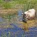 Macedonia, cow grazing in the wetland, small Prespa lake, Greece #Μacedonia