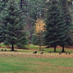 "We had visitors this evening when we headed out to the barn to do chores. Look closely and you'll see a large rafter of wild turkeys. This was the largest group we had ever seen! • <a style=""font-size:0.8em;"" href=""http://www.flickr.com/photos/54958436@N05/15611900805/"" target=""_blank"">View on Flickr</a>"