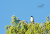 Sardinian warbler (Giovanni Caddeo) Tags: wildlife animalplanet naturalmente sylviamelanocephala sardinianwarbler defendersofwildlife earthhour nginationalgeographicbyitalianpeople totalphotoshop occhiocotto floraefaunadellasardegna nikonclubit nikond7100 nikkorafs300mmf28gedvrii