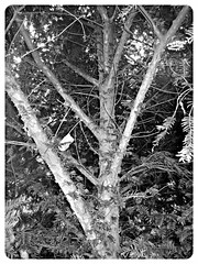 Rsineux (hobbyphoto18) Tags: wood blackandwhite bw france tree nature pine pin noiretblanc nb trunk arbre nordpasdecalais bois tronc rsineux coudekerque leboisdesforts