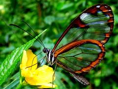 mariposa alas de cristal (andresdelgado88) Tags: