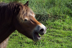 Exmoor Pony Yawning at Catcott Lows NNR Somerset (Cornishcarolin. Thank you everyone xxxx) Tags: somerset ponies yawning somersetlevels exmoorponies catcottlows nnrs batslair