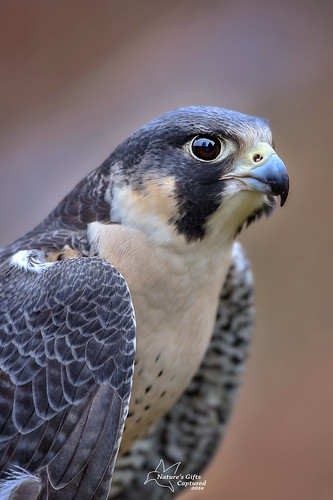 Peregrine Falcon Close Up (Tami Hrycak ッ) Tags: peregrinefalcon falcon hawk wildlife tamihrycak naturesgiftscaptured closeup headshot nikond4s 300mm creative photoshop njnature specanimal