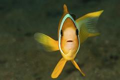 I swear officer , he went that way! (merbert2012) Tags: red anemonefish planetearth diving scuba nature fish nikond800 aquaticahousing macro fun humor
