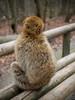 Selection 2016 (spline_splinson) Tags: barbarymacaques affe affenberg animal ape apehill barbaryape bodensee boyandape germany macaques salem badenwürttemberg deutschland de