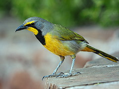 Namibia - Bokmakierie (sharko333) Tags: travel voyage reise africa afrika afrique namibia animal bird bokmakierie bokmakiri olympus em1