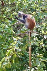 (Rosino) Tags: zanzibar tanzania 35mmf2d jozani redcolobus monkey