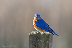 Caught Me with My Camera (Gabriel FW Koch) Tags: outdoor outside bird animal wild wildlife songbird bluebird eastern wow awesome canon sigma telephoto depthoffield dof eos garden blue sky sun sunlight beauty beautiful pretty