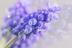 Tear (V Photography and Art) Tags: grapehyacinth muscari purple blue tears droplets nature bokeh macro dof light depthoffield