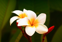 Velvety plumeria (melike erkan) Tags: plumeria frangipani bloom blooms flower flowers petals petal white yellow stem dof sony bokeh nature closeup
