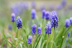 Muscari / Traubenhyazinthen (Mah Nava) Tags: lokischmidtgarten muscari traubenhyazinthen muscarileucostomum muscarilatifolium hyazinthe hyacinth traubenhyazinthenwiese spring frühling