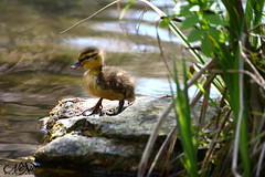 Caneton (neku.chou) Tags: canard caneton duck baby bébé mignon cute oiseau brid bird birdphotography printemps eau marre etang nage
