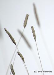 Etna _ dry grass and snow (piero.mammino) Tags: etna sicilia sicily neve snow erba grass spighe dry secca vulcano volcano winter inverno natura nature natureandnothingelse ngc