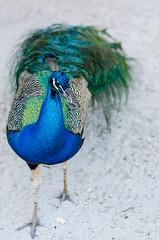 DSC_8711 (Jose Fabio Betancur) Tags: pavo real cartagena aviario nacional colombia baru ave