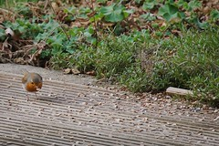 Fresschen 🐦 (Christian Passi - Steher82) Tags: happy bird vogel selp18105g a6000 sony gimpel vögel birds vsco natur outdoor spotting spotters green garten color love liebe bullfinch animal singvögel sperlingsvögel spring flickr food