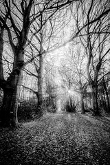 "lovely leaf-strewn path between birch trees past the sun, Bois de Breuil (Breuil Forest), Calvados, Normandy, France (grumpybaldprof) Tags: sigma 1020 1020mm f456 ""sigma1020mmf456dchsm"" noiretblanc ""blackandwhite"" ""blackwhite"" monochrome bw honfleur normandy normandie france calvados ""boisdubreuil"" ""forestofbreuil"" vasouy penndepie conservation ""conservatoiredulittoral"" rhododendrons ""coastalconservancy"" bois forest trees deciduous coniferous wood woods coastline ""dukesofnormandy"" french kings ""philippeauguste"" breuil wildlife wildboar ""pinemarten"" ""redfox"" deer ""forestwalk"" landscape branches leaves hdr shadow promenade ethereal avenue path vanishingpoint naturalarch arch walkway light texture contrast fineart foret arbres lumiere"