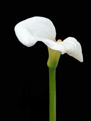 Calla Lily Nodding (12bluros) Tags: callalily flower flora floral nybg canonef100mmf28lmacroisusm newyorkbotanicalgarden