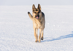 Harley_Lake Erie_1 (Thomas Muir) Tags: tommuir lakeerie oakharbor ohio germanshepherd dog outdoor lucascounty snow