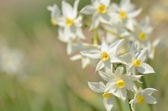 little stars (snowshoe hare*) Tags: 水仙 スイセン 海の中道海浜公園 グランドモナーク flowers narcissus narcissustagetta grandmonarch botanicalgarden dsc0012
