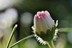 Time to close (Jacques Borruel) Tags: nature couleurs colors lumière light contrejour backlight fleur grosplan macro jardin paquerette